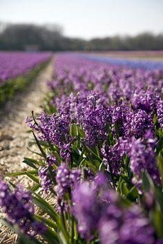 Hyacinths. A whole field. I want a WHOLE FIELD.