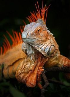 All About Reptiles, earthlynation: Green Iguana. Reptiles Et Amphibiens, Cute Reptiles, Mammals, Iguana Verde, Nature Animals, Animals And Pets, Cute Animals, Beautiful Creatures, Animals Beautiful