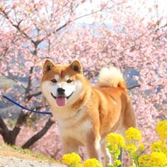 Spitz Breeds, A Dog's Tale, Japanese Akita, Akita Dog, Dog Boarding, Hunting Dogs, Shiba Inu, Animal Drawings, Dog Cat