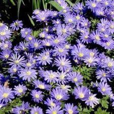 Image result for anemone blanda blue shades
