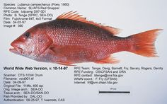 1000 images about florida fish species on pinterest red for Types of red fish