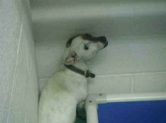 ADOPTED111     ***URGENT NEEDS OUT NOW*** PENSACOLA, FLORIDA | LOLLIE ID#A243974, a 1 year old Jack Russell Terrier mix who needs a rescue or an adopter now! Lollie is a little girl who is very scared in this environment. She really needs someone who will give her a safe loving home. She seems to do well with other dogs, but she is not cat or kid tested. Lollie needs someone who will give her a second chance and show her lots of love and TLC. Please email adopt@saveasoutherndog.com…