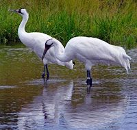 The Keystone XL pipeline would put the whooping crane and as many as 10 other endangered species at great and unnecessary peril.