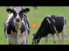 Ausweisung niederländischer Kühe aus der Türkei