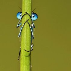 Hidenseek with a Blue eyed Damselfly nature-s-beauty
