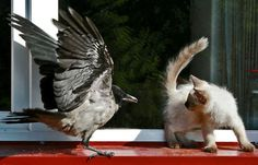 Young Hooded Crow and kitten.