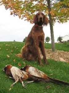 Irish Setter - I see the Irish Setter is doing what he/she was bred for.  Good Job
