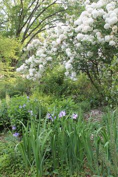 spring flowers, April 27-001 - Chinese snowball viburnum, Viburnum macrocephalum, clematis and iris.