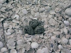 New Zealand dotterel Nest with 3 eggs. Karaka shellbank, Mankau Harbour | New Zealand Birds Online
