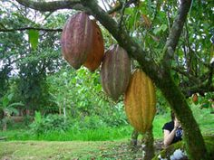 Master Chocolate Program in Costa Rica will take you to the historical roots of cacao growing during harvest. Not only will your chocolate making benefit from a much better understanding of cacao cultivation and processing but you will engage in spirited dialogue on the future of fine chocolate flavor.