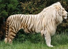Strangest Animal Hybrids You Won't Believe Really Exist! - There are Ligers and Tigons! (not the same thing)