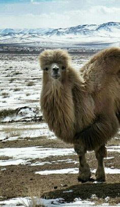A magnificent furry camel in Mongolia. It's a stunning place - have a read here: http://www.martinainmotion.com/exploring-majestic-mongolia/