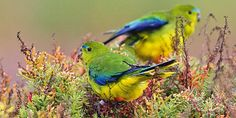 Australia's Most Endangered Parrot, the Orange-bellied Parrot, Not Sighted in This Year's Survey: