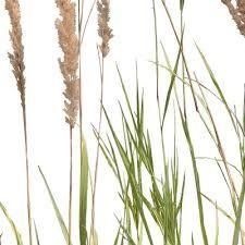 Bilderesultat for wetland plants png