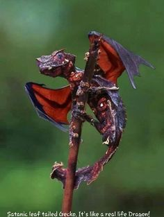 Satanic leaf tailed Gecko. Mini dragon!