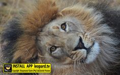 Home of Leopard.tv Wildlife Magazine, Shayamanzi wildlife ranch and wildlife music African Big Cats, Tv App, Lions, Make Me Smile, Wildlife, Travel, Animals, Lion, Viajes