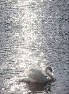Swans - white-on-white