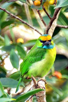Yellow-crowned Barbet (Megalaima henricii), Southeast Asia