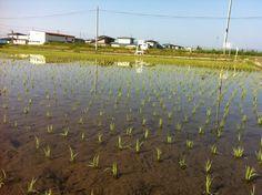 【生育記録】平成24年6月2日(土)の稲の様子です。田植えから1週間後の様子です。