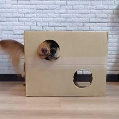 Funny Animal Videos, Cute Funny Animals, Cute Baby Animals, Animals And Pets, Dog Videos, Funny Dachshund, Dachshund Love, Funny Dogs, Cute Puppies