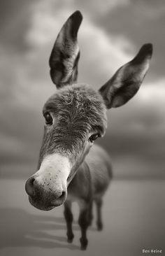 burro by Katzen Cute Baby Animals, Animals And Pets, Funny Animals, Wild Animals, Beautiful Creatures, Animals Beautiful, Hello Beautiful, Tier Fotos, Baby Dogs