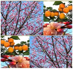 Mandshurian Apricot Tree Seeds  Prunus by ALLooABOUTooSEEDS