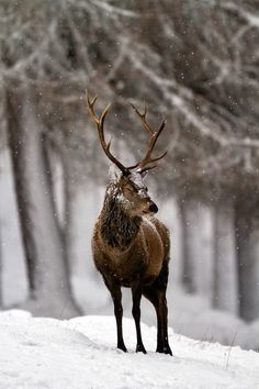 Buck in snow
