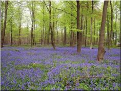 forest floor blanketed with bluebells in the UK. This is so pretty.