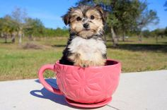 A Morkie is the sweetest puppy in the world! If you want to adopt a cute teacup Morkie puppy, Florida Pups is the perfect place. Adopt our Morkie puppies near Sarasota, Tampa, Daytona, Orlando, Fort Myers, Fort Lauderdale, Miami and Naples.
