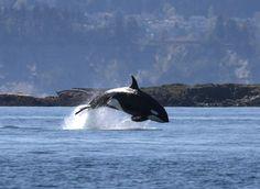 Whale watching...Friday Harbor, San Juan Islands (Washington)