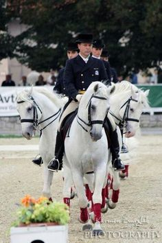 Lipasanners are excellent at dressage! Most Beautiful Horses, Pretty Horses, Horse Love, Cowboy Horse, Horse Riding, Dressage, Spanish Riding School, Andalusian Horse, Majestic Horse