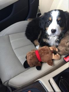 They are the cutest little co-pilots you could ever ask for. | 23 Reasons Bernese Mountain Dogs Are The Champions Of Our Hearts