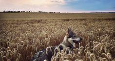 Wolfdog Maya enjoying wheat fields in Central Bohemia. Travel with us on www.travelwithmaya.com !