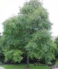 """Evergreen Alder/Alnus (Toorak """"Gum Tree"""") hellohello.com.au"""
