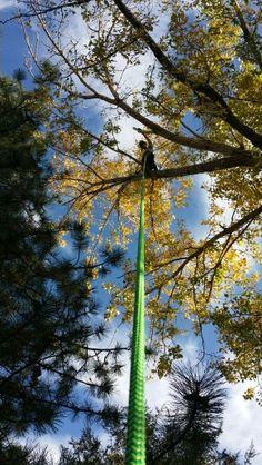 Arborist climbing trees. #rivendelltree