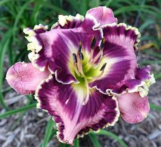 Photo of Daylily (Hemerocallis 'Picasso's Intrigue'). Caption: Photo courtesy of Patrick Guidry. Rare Flowers, Big Flowers, Exotic Flowers, Pretty Flowers, Purple Flowers, Peonies Garden, Pink Garden, Clematis, Daylily Garden