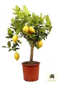 """Zitronenbaum """"Mezzo"""""""