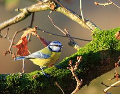 Blue Tit on autumnal mossy log