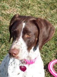 Darbie is an adoptable German Shorthaired Pointer Dog in Monrovia, MD. Darbie is a sweet and loving two year old female. She has adjusted well to her foster home. Darbie gets along great with her fo...