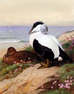Thornburn Archibald Common Eider Ducks  A(n) Archibald Thorburn paintings