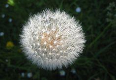 Dandelion seed head (Taraxacum officinale) by Avenue