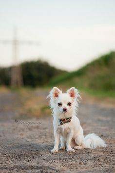 chihuahua - I want a long haired white one soooo bad!!!!