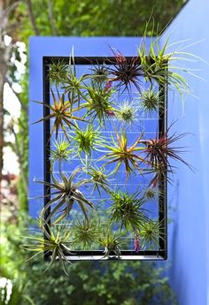A feature for an outdoor or indoor space, air plants require no digging, no weeding and no mess in a simple and aesthetic upside-down garden.