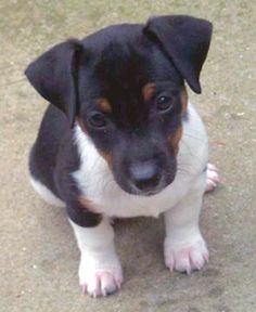 English Jack Russell Terrier. Look at those teeny weeny almost translucent baby nails.....