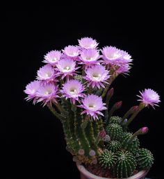 Blooming Succulents, Cacti And Succulents, Planting Succulents, Planting Flowers, Rare Flowers, Exotic Flowers, Amazing Flowers, Cactus Planta, Cactus Y Suculentas