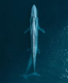 Blue Whale mother and calf Beautiful Creatures, Animals Beautiful, Predator Hunting, Life Aquatic, Mundo Animal, Ocean Creatures, Blue Whale, Animals Images, Nature Images
