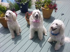 Oodles of poodles...Gemma, Jewels and Daisy
