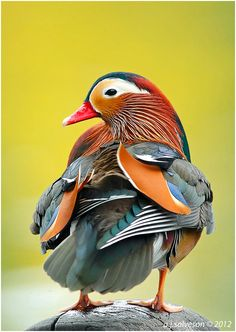 Mandarin duck / Aix galericulata / Canard mandarin : Le Canard mandarin est une espèce de canards appartenant à la famille des anatidés, originaire d'Asie du Sud-Est. Wikipédia