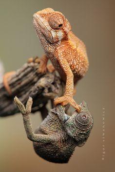 untitled by Igor Siwanowicz (baby chameleon aggression)