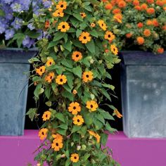 """Black-eyed Susan vine, """"thunbergia alata"""" is a colorful climbing plant. With its bright yellow or orange flowers and its black heart, this climbing plant will add dynamism to your layout. Heat resistant, this plant grows easily on trellises and fences"""